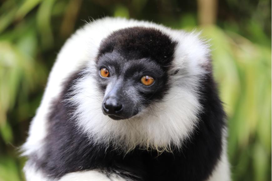 Lémur amarillo blanco y negro Madagascar.