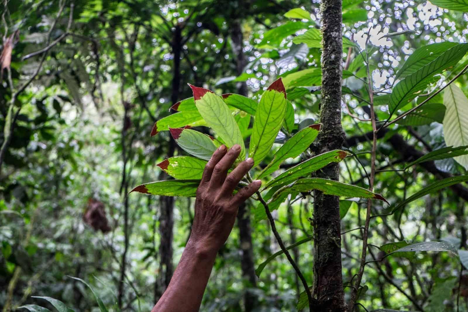 Especies de plantas amazónicas del Amazonas