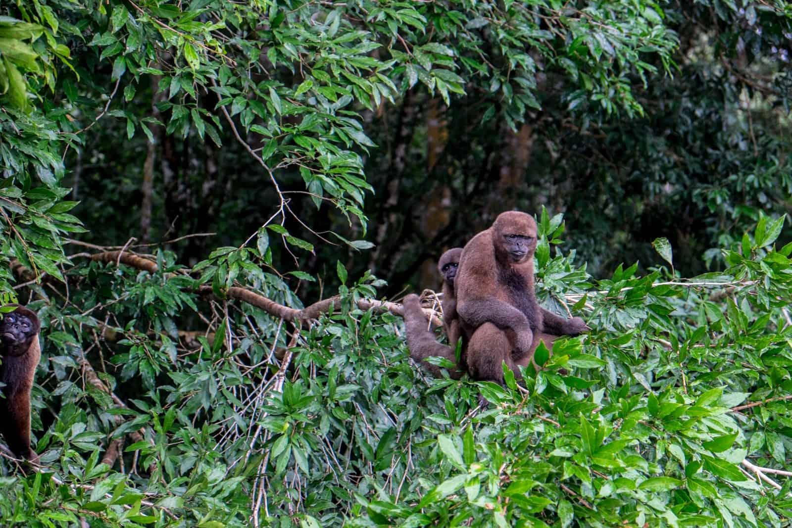 Monos en la selva de los países amazónicos ecuatorianos