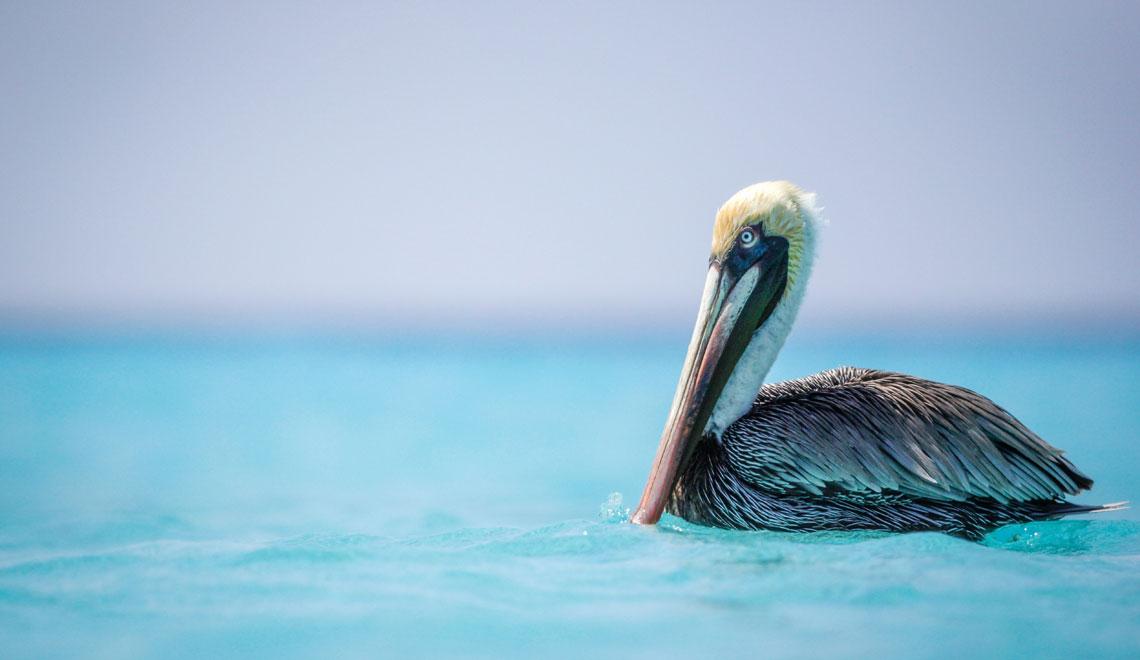Pelican Klein Curacao