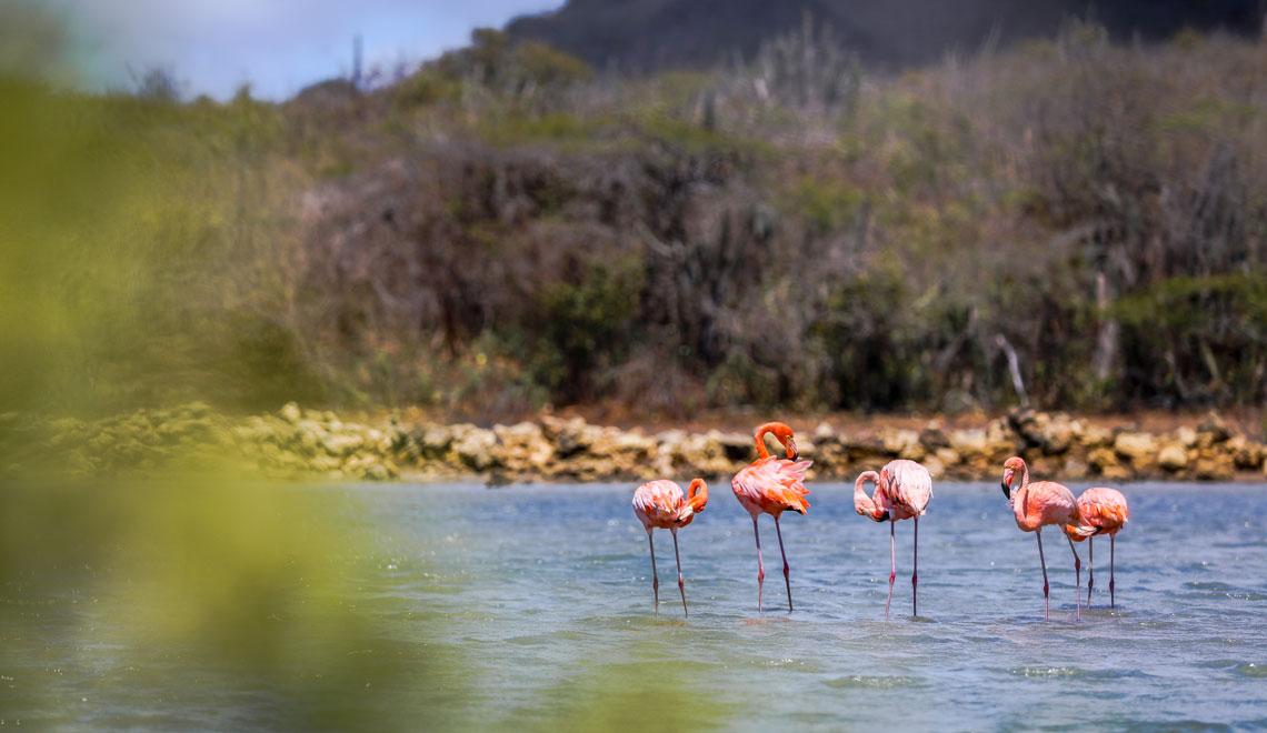 Spot the Flamingo at Villibrordus Curacao