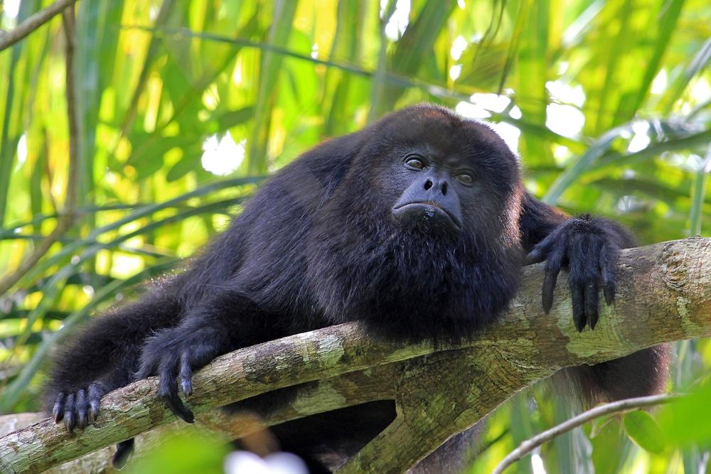 Monkey Hovler