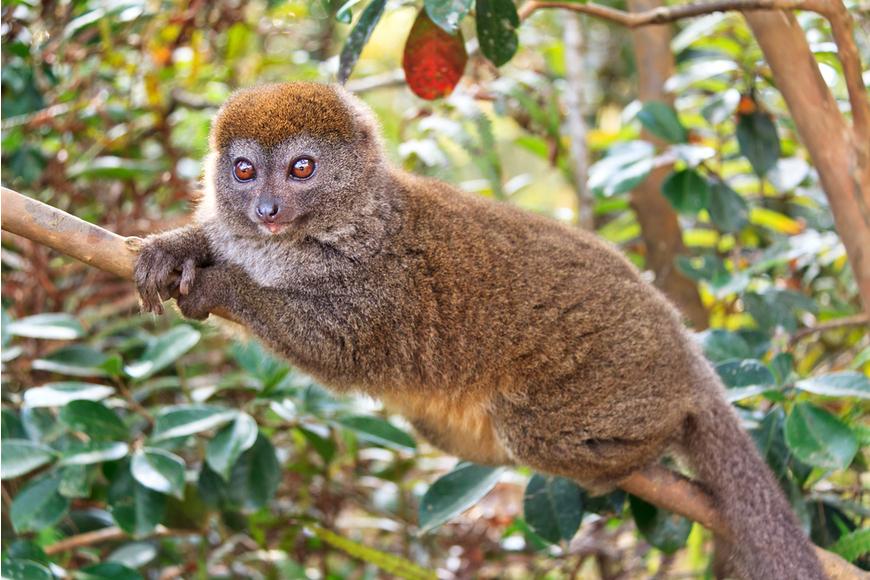 lémur de bambú oriental más pequeño de Madagascar.